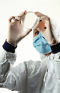 Biotech worker examining petri dish.<br /> <br /> Larger JPEG + TIFF images available by contacting use through our contact page at : www.effectiveworkingimage.com