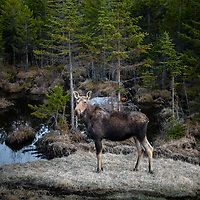 Moose Cow  in New Hampshire