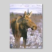 Alaska. Kenai Peninsula. Cow Moose. (Alces alces) in winter snow browsing on willow shoots.