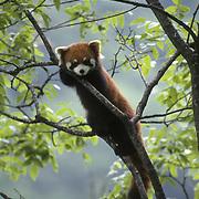 Red panda (Ailurus fulgens) in a tree. Wolong National Nature Reserve, China, Captive Animal
