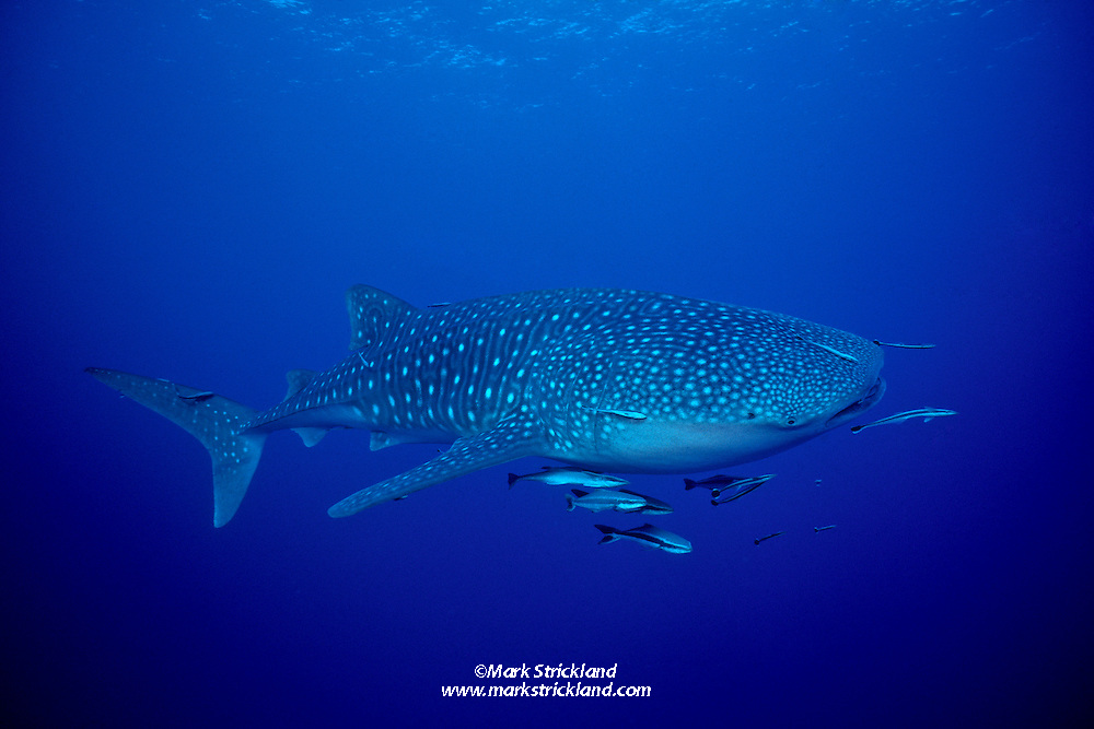 Whale Shark, Rhincodon typus, accompanied by several small cobia, Rachycentron canadum, and Remoras, Echeneis naucrates. Richelieu Rock, Andaman Sea, Thailand.