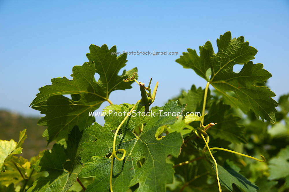 Israel, Judea Hills, Tzora winery and vineyards, Cabernet vines planted in marlstone type clay soil, June 2007 2 months before harvest, The clipping of the top stems can be seen