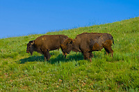 American Bison (American Buffalo), Wind Cave National Park, South Dakota USA