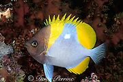 pyramid butterflyfish, Hemitaurichthys polylepis, nighttime coloration, Helen Reef Atoll, Palau ( Belau ), Micronesia ( Western Pacific Ocean )