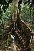 Buttress Roots of Ceiba Tree (Ceiba sp.)<br /> Yasuni National Park, Amazon Rainforest<br /> ECUADOR. South America