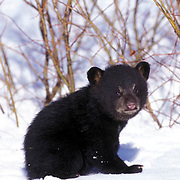 Black Bear, (Ursus americanus) Spring cub in spring snow. Montana.  Captive Animal.