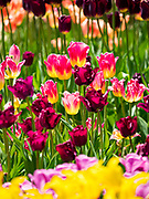 """03 MAY 2020 - PELLA, IOWA: Blooming tulips in a park in downtown Pella, Iowa. Pella is a small community in central Iowa. The town's economy is driven by tourism and the Tulip Festival, the largest tourist event of the year, has already by canceled for 2020 because of fears that the festival could become a COVID-19 (Coronavirus/SARS-CoV-2) """"Super Spreader"""". The Governor of Iowa reopened 77 of Iowa's 99 counties. The counties that were reopened have reported low incidences of Coronavirus. Marion County, where Pella is located, has reported 12 cases of Coronavirus. There have been 9,169 confirmed cases of Coronavirus in Iowa, including 1,476 cases in the Des Moines area, less than one hour away. Many people from Des Moines drove to Pella this weekend to see the tulips for which the town is famous.       PHOTO BY JACK KURTZ"""