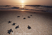 Kemp's ridley sea turtle hatchlings, Lepidochelys kempii ( endangered species ), released to ocean after hatching in protected corral, Rancho Nuevo, Mexico ( Gulf of Mexico )