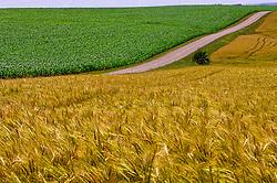 Lavoura de trigo e milho na região de Cruz Alta. FOTO: Jefferson Bernardes / Preview.com