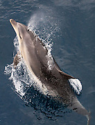 Bottlenose Dolphin, Tursiops truncatus, breaching near Adventure Bay, Tasmania.