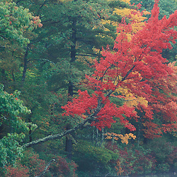 Tamworth,NH.Red Maple, Acer rubrum, at Chocorua Lake.