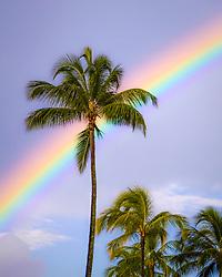 rainbow over coconut palm, Honolulu, Oahu, Hawaii, USA