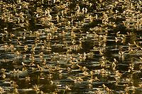 Mayflys swarming at the river Tisza, Hungary June 2009.