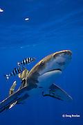 oceanic whitetip shark, Carcharhinus longimanus, with a small sharksucker or remora, and accompanied by a pair of pilot fish, Naucrates ductor, off the Kona Coast of Hawaii Island ( the Big Island ), Hawaiian Islands, U.S.A. ( Central Pacific Ocean )