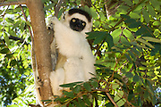 Madagascar, Verreaux's Sifaka (Propithecus verreauxi) This prosimian, a type of primate, moves along the ground by jumping with its long and powerful rear legs. The Verreaux's sifaka lives in small groups in the forests of south-west Madagascar. It mainly eats leaves, fruit and bark. Photographed in Berenty, Madagascar.
