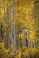 Early moring sunlight shines through the golden aspen leaves in Utah's Big Cottonwood Canyon.
