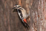 Syrian Woodpecker (Dendrocopos syriacus) The Syrian Woodpecker is a resident breeding bird from southeastern Europe east to Iran. Its range has expanded further northwest into Europe in recent years. Syrian Woodpecker is 23-25 cm long, and is very similar to the Great Spotted Woodpecker, Dendrocopos major. Photographed in Israel