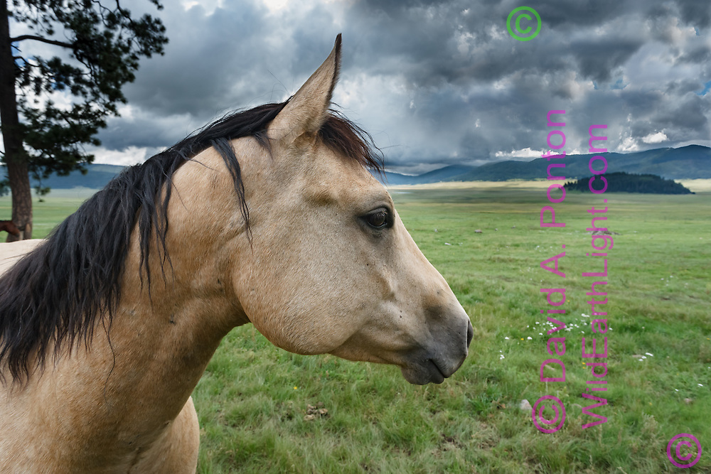 Portrait of service horse pastured in the Valle Grande, largest grassland valley in the Valles Caldera National Preserve, © David A. Ponton