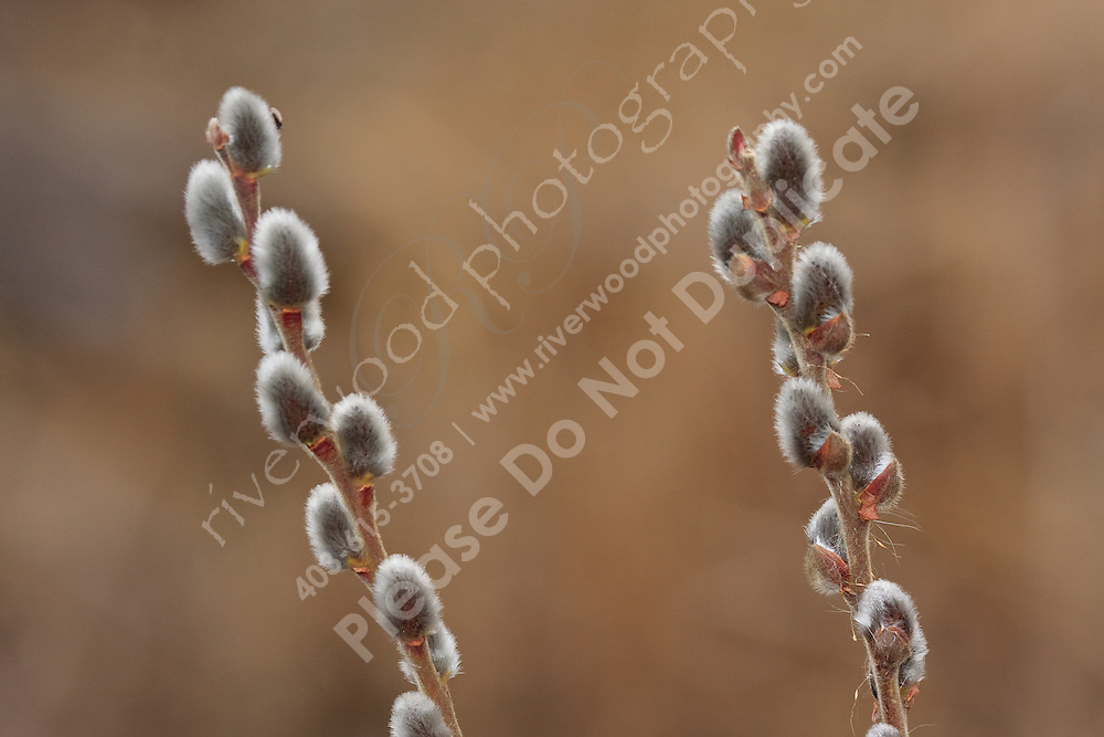 Another sure sign of spring is when the willow buds start to show up.  I ound these in Kelowna while visiting with my family...©2009, Sean Phillips.http://www.Sean-Phillips.com