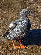 Pigeon Guillemot. Oregon Coast Aquarium, Newport, Oregon, USA.