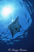 manta ray, Mobula alfredi (formerly Manta alfredi) or Mobula birostris, Bay of Wrecks, Christmas ( Kiritimati ) Island, Line Islands, Kiribati ( Central Pacific )