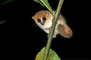 Goodman's mouse lemur (Microcebus lehilahytsara) from Andasibe NP, Madagascar.