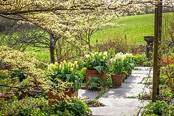 Pots of Tulipa 'Purissima' lining the path at Glebe Cottage with Cornus controversa 'Variegata'