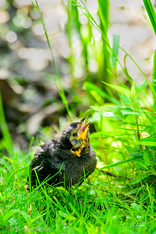 A young Red-winged Blackbird (Agelaius phoeniceus) fledgling begs for food at the edge of Halycon Lake in Mount Auburn Cemetery. <br /> <br /> The red-winged blackbird is found throughout most of North and much of Central America. It breeds from Alaska and Newfoundland south to Florida, the Gulf of Mexico, Mexico, and Guatemala, with isolated populations in western El Salvador, northwestern Honduras, and northwestern Costa Rica. It may winter as far north as Pennsylvania and British Columbia, but northern populations are generally migratory, moving south to Mexico and the southern United States. <br /> <br /> The red-winged blackbird has been considered the most abundant living land bird in North America, with more than a million birds per flock and the total number of breeding pairs across North and Central America exceeding 250 million in peak years. <br /> <br /> The red-winged blackbird is sexually dimorphic with the male being all black with a red shoulder and yellow wing bar, while the female is a nondescript dark brown. Red-winged blackbirds are polygynous, with territorial males defending up to 10 females. Seeds and insects make up the bulk of the red-winged blackbird's diet.<br /> <br /> Male red-wing blackbirds grow to 22–24 cm (8.7–9.4 in) long and weigh 64 g (2.3 oz).  Females are smaller.  They build their nests in cattails, rushes, grasses, sedge, or in alder or willow bushes. The nest is constructed entirely by the female over the course of three to six days. A clutch consists of three or four, rarely five, eggs. Eggs are oval, smooth and slightly glossy, and measure 24.8 mm × 17.55 mm (0.976 in × 0.691 in). They are incubated by the female alone, and hatch in 11 to 12 days both blind and naked.  However, they are ready to leave the nest 11 to 14 days after hatching.