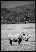 White Rhinoceros, Kenya, July, 2002