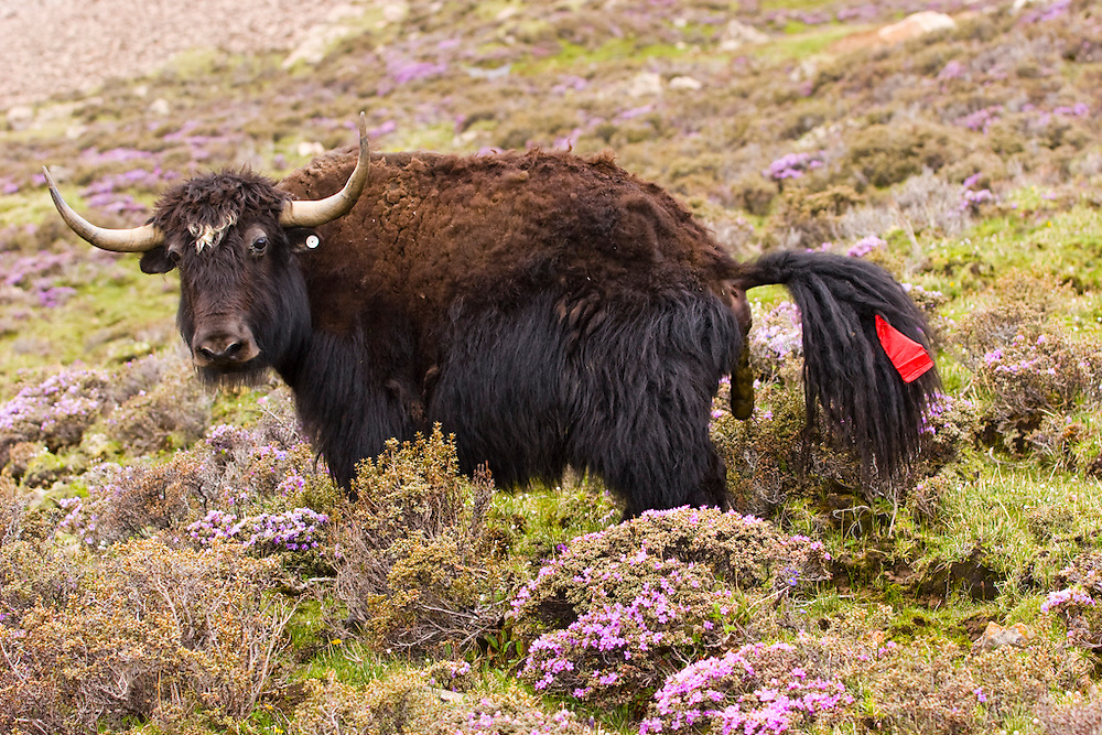 A yak pauses to defecate while it grazes in the high altitude pastures of the Tibetan Plateau. Yak are found throughout the Himalayan region of south Central Asia, the Tibetan Plateau and as far north as Mongolia and Russia. In addition to a large domestic population, there is a small, vulnerable wild yak population. Wikipedia.
