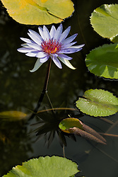 Water Lily, Purple #3