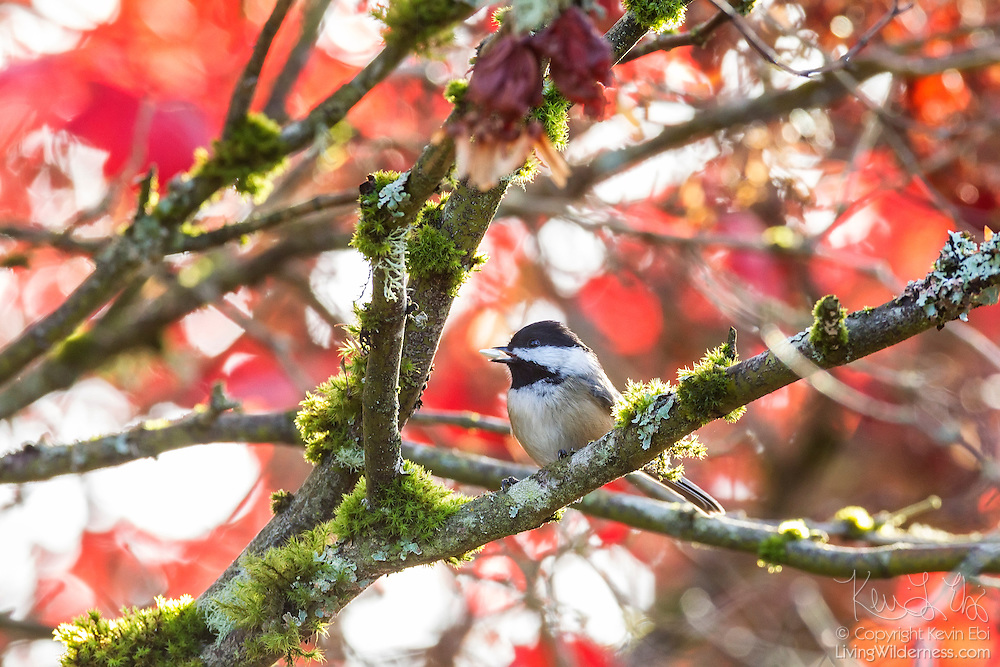 A chestnut-backed chickadee (Poecile rufescens) feeds on a seed while perched in a maple tree displaying its red fall colors in Snohomish County, Washington. Chestnut-backed chickadees, found throughout the Pacific Northwest and western Canada, primarily feed on insects and small invertebrates, but will eat some seeds, especially those of conifers.