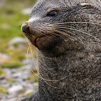 Antarctic fur seal on the rocky shoreline at the former whaling station in Stromness on South Georgia Island.