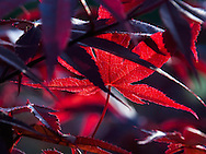 """Japanese Maple at twilight with low evening sun highlighting the wonderful, deep colors.For IMAGE LICENSING just click on the """"add to cart"""" button above.<br /> <br /> Fine Art archival paper prints for this image as well as canvas, metal and acrylic prints available here:"""