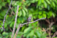 A Song Sparrow (Melospiza melodia) on a branch in the marsh at Elgin Heritage Park near Crescent Beach, British Columbia, Canada