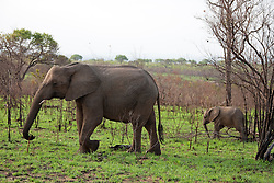 Elephants walking in a forest, Kruger National Park, South Africa,