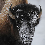 A large male Bison forages along the Madison River. Yellowstone National Park, Wyoming