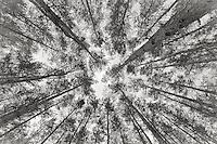 Zagan Pines 11