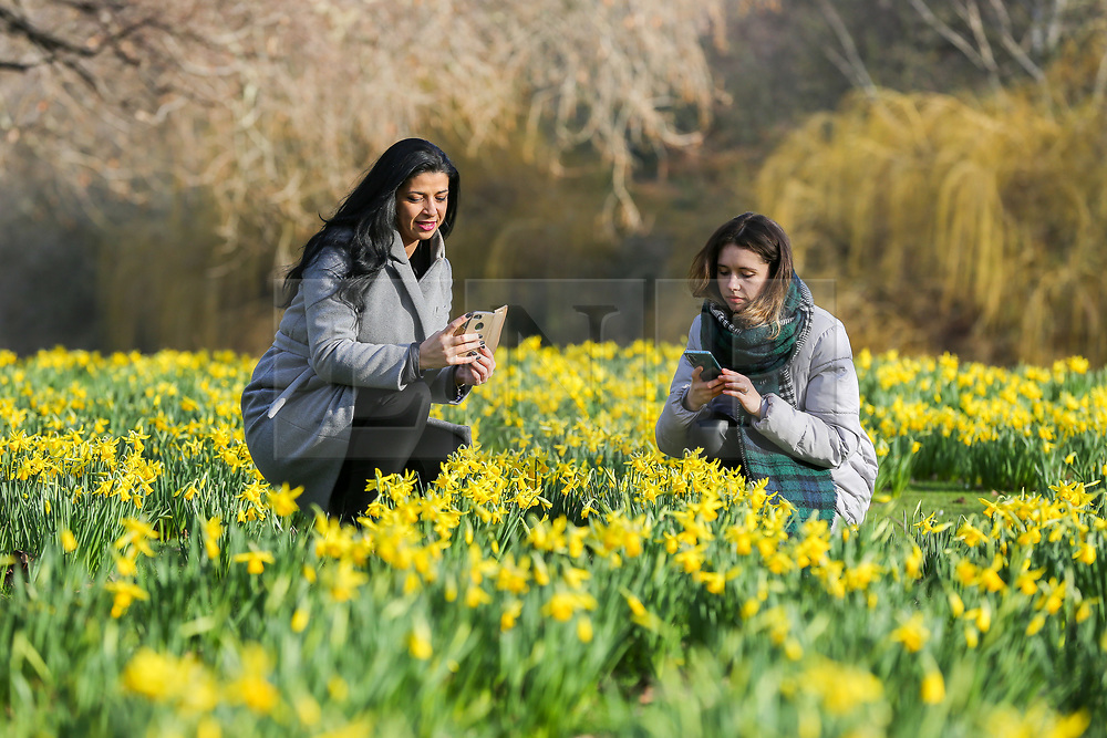© Licensed to London News Pictures. 07/02/2020. London, UK. IRINA GOMES (L) and GRETA RESOTKAITE (R) take photographs of the Daffodils as they start to bloom in St James's Park. Photo credit: Dinendra Haria/LNP