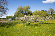 Spring blossom on trees in apple orchard and wildflower meadow, Wiltshire, England, UK