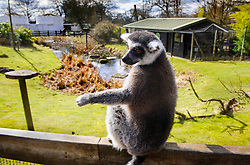 © Licensed to London News Pictures. 13/03/2013 Whipsnade, UK. Taffy the Ring Tailed Lemur at a photo call to celebrate celebrate his 25th birthday at Whipsnade Zoo, Beds. He and his twin, Billy are believed to be the oldest living Ring Tailed Lemurs in captivity. Photo credit : Simon Jacobs/LNP..