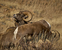 Big Horn Sheep Along Colorado 14 near Sheridan in Roosevelt National Forest. Image taken with a Nikon D2xs and 200-400 mm lens (ISO 200, 400 mm, f/5.6, 1/1250 sec)