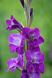 Gladiolus 'Violetta'