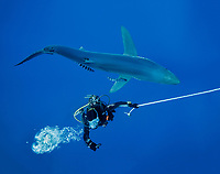 Blue shark, Prionace glauca, Pico in the Azores