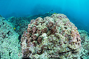 a large head of lobe coral, Porites lobata, has died, likely from the 2015 bleaching event, and has a light coat of green and red algae encrusting it; a small colony of live lobe coral has recruited and started to grow on the dead coral, but it is bleached white during the summer 2019 marine heat wave, and will likely die; Honaunau Bay, South Kona, Hawaii Island ( the Big Island ) Hawaii, USA ( Central Pacific )