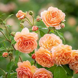 Rosa 'Grace' syn. 'Auskeppy' AGM