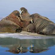 Walrus group near Banks Island, Nunavut Territory, Canada.