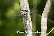 06340-002.15 Gray Petaltail (Tachopteryx thoreyi) perched on tree, Ripley Co.  MO