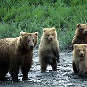 Alaskan Brown Bear, (Ursus middendorffi) Portrait of spring cubs with sow at river.