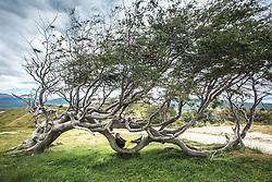 Turista visita as árvores tortas pelo vento na Estância Harberton fundada em 1886 por Thomas Bridges na beira do Canal de Beagle - primeira estância a se estabelecer na Terra do Fogo. FOTO: Jefferson Bernardes/ Agência Preview